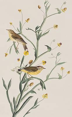 Wild Flower Drawing - Yellow Red-poll Warbler by John James Audubon