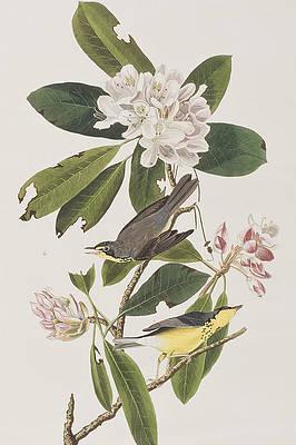 Рисунок дикого цветка - канадской пеночки Джона Джеймса Одюбона