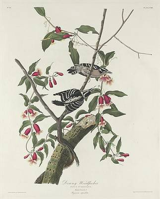 Wild Flower Drawing - Downy Woodpecker by Dreyer Wildlife Print Collections