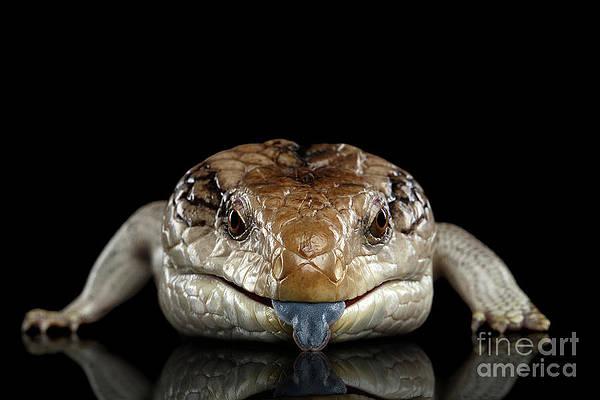 Reptile photography,Wall Art Australia Lizard Lizard Photography,Blue Tongue Lizard,Skink,Reptile