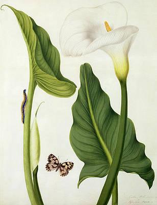 Рисунок дикого цветка - Calla Aethiopica с бабочкой и гусеницей работы Матильды Кониерс
