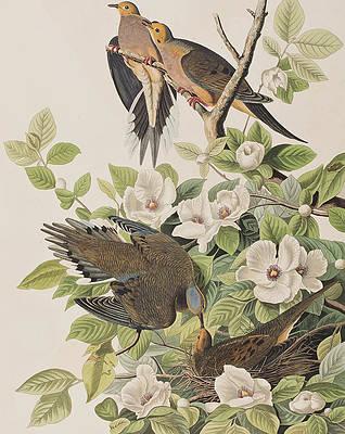 Wild Flower Drawing - Carolina Turtle Dove by John James Audubon