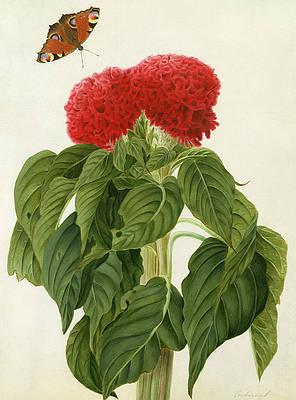 Рисунок дикого цветка - Celosia Argentea Cristata и бабочка Матильды Кониерс