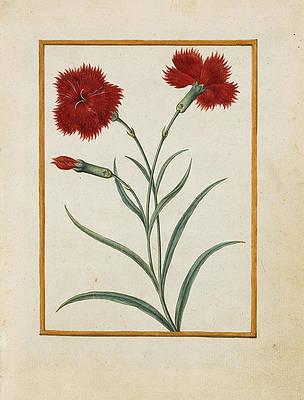 Реалистичный рисунок цветов - Гвоздичные щитовки от Жака Ле Мойна де Морг