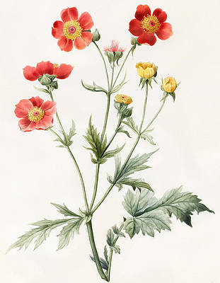 Wild Flower Drawing - Composite by Louise D