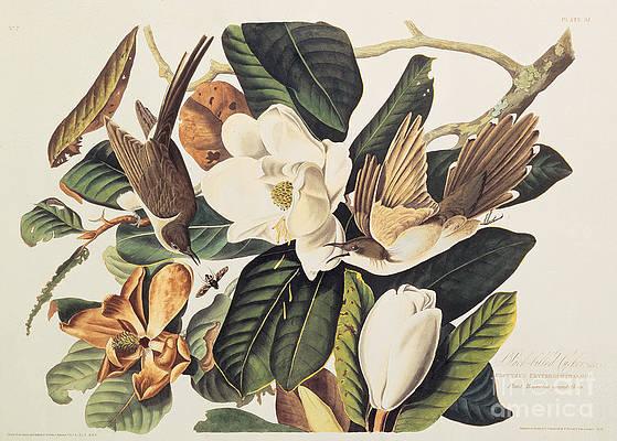 Рисунок дикого цветка - кукушка на магнолии грандифлора Джона Джеймса Одюбона