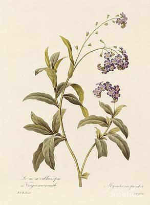 Рисунок дикого цветка - Forget Me Not от Pierre Joseph Redoute