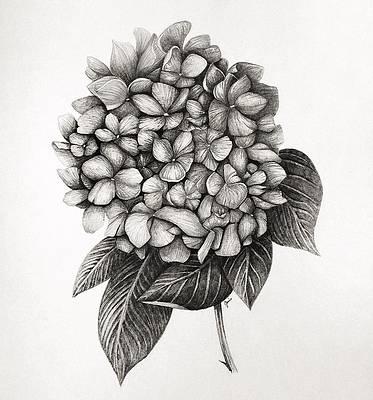 Realistic Flower Drawing - Hydrangea by Jaime Violano