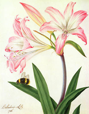 Wild Flower Drawing - Lilium Belladonna and Bee by Matilda Conyers
