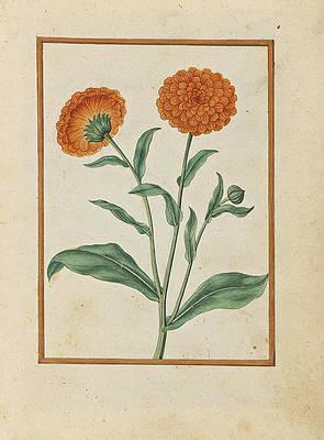 Realistic Flower Drawing - Pot Marigolds by Jacques Le Moyne de Morgues