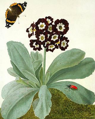 Рисунок дикого цветка - Primula Auricula с бабочкой и жуком от Matilda Conyers