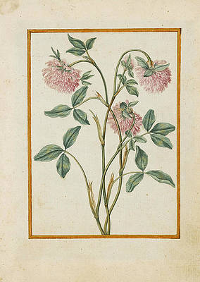 Realistic Flower Drawing - Red Clover by Jacques Le Moyne de Morgues