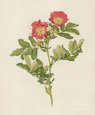 Wild Flower Drawing - Rosa Pratincola by English School