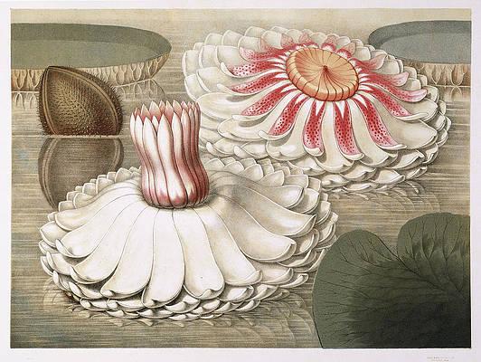 Реалистичный рисунок цветка - Виктория Регия. Промежуточные стадии цветения Уильяма Шарпа