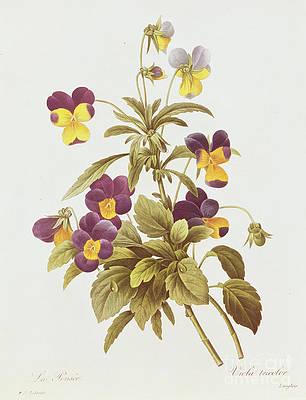 Рисунок дикого цветка - виола трехцветная от Pierre Joseph Redoute
