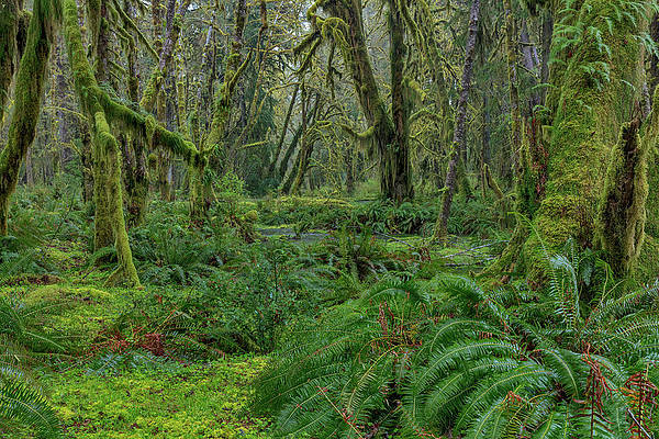 Mystical Forest Photograph Olympic Pacific Northwest Hall of Moss Wall Art Nature Photograph Rain Forest