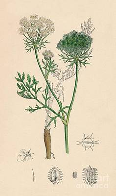 Wild Flower Drawing - Daucus Carota. Wild Carrot by Print Collector