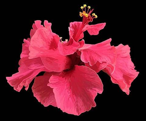 Реалистичный цветочный рисунок - Гибискус розовый в черном от Джоан Страттон