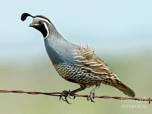Historic Images Press Photo California Quail Bird orc01378 Sauvie Island
