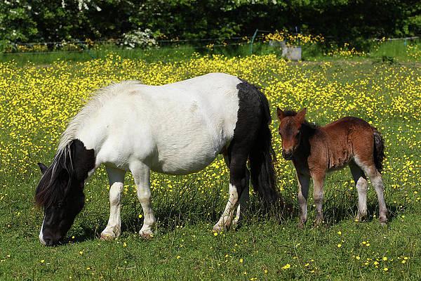 Shetland Pony Art Fine Art America