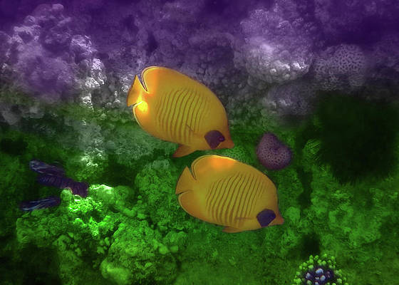 The Exotic Masked Butterflyfish Colorfully by Johanna Hurmerinta