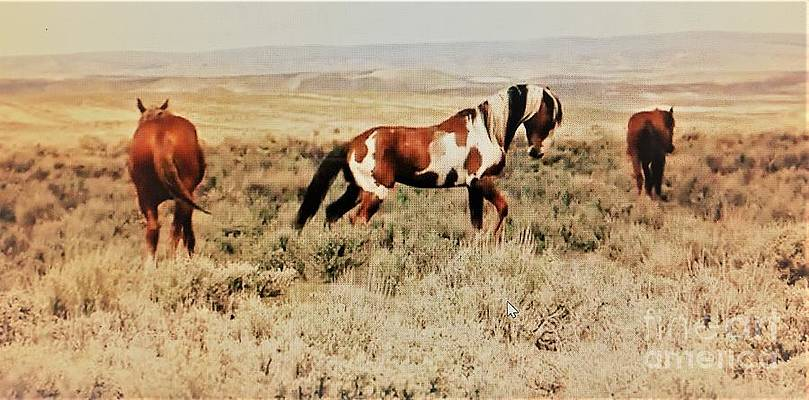 Mustang Stallion Picasso and mares Save the Mustangs Adopt a Mustang by Ricardo Richard W Linford