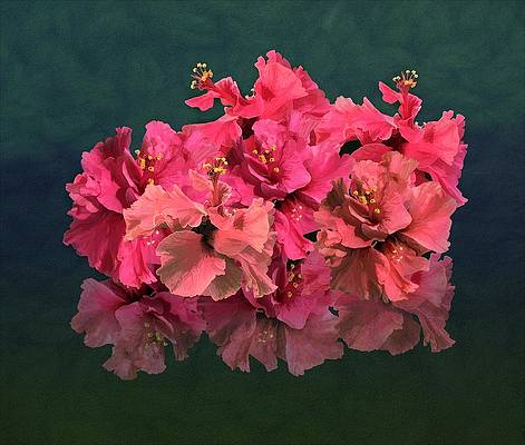 Realistic Flower Drawing - Pink Hibiscus Flowering Blooms Posy by Joan Stratton