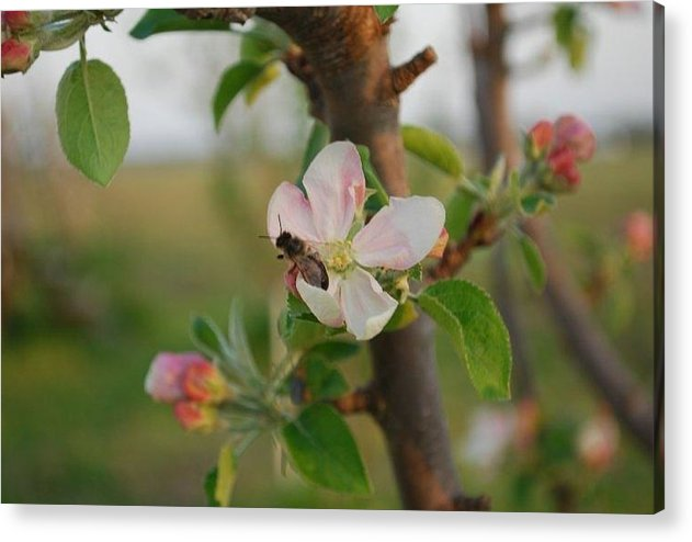 Nature Acrylic Print featuring the photograph Bee by April Rouse