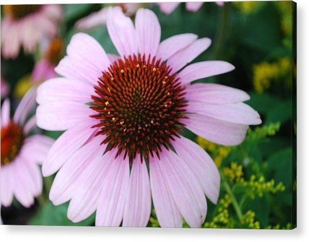 Nature Acrylic Print featuring the photograph Cone Flower by April Rouse