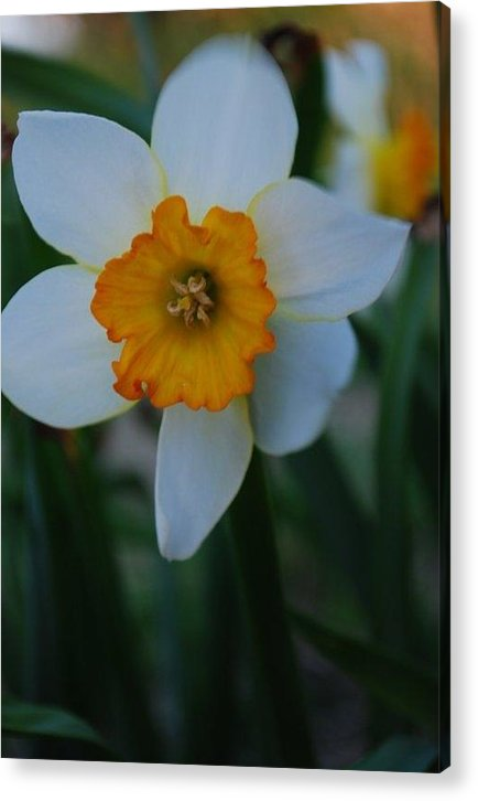 Nature Acrylic Print featuring the photograph Daffodil Close Up by April Rouse