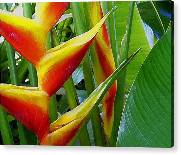 Heliconia Acrylic Print featuring the photograph Heliconia Bihai Kamehameha by James Temple