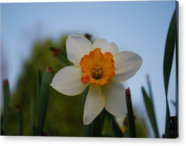 Nature Acrylic Print featuring the photograph Orange And White by April Rouse