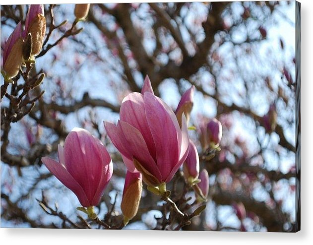 Nature Acrylic Print featuring the photograph Pink Bloom by April Rouse