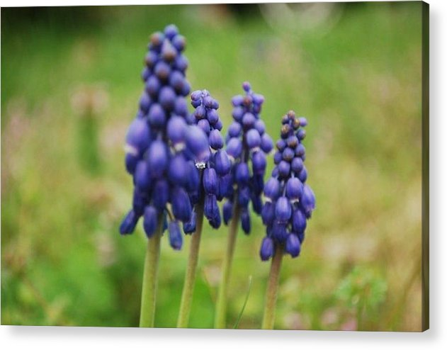 Nature Acrylic Print featuring the photograph Purple Cluster by April Rouse