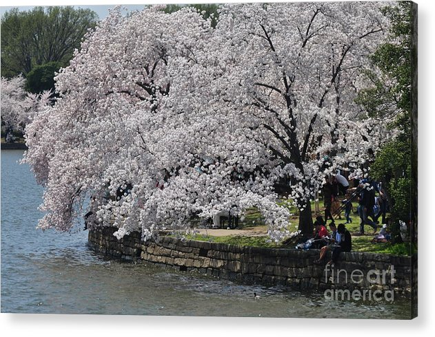 Cherry Blossoms Acrylic Print featuring the photograph River Side by Nona Kumah
