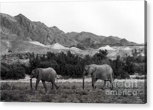 Elephants Acrylic Print featuring the photograph Searching by Susan Chandler