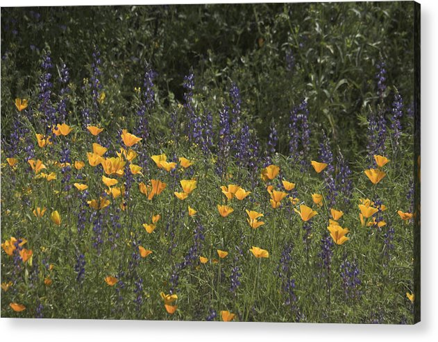Wild Flower Acrylic Print featuring the photograph Sweet And Wild by Stephen Dilley