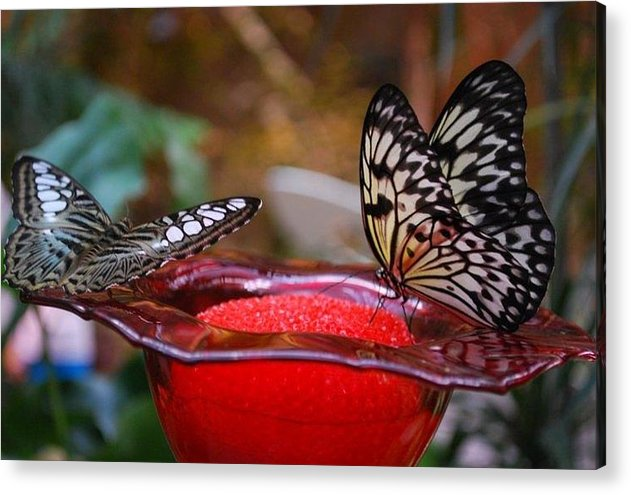 Nature Acrylic Print featuring the photograph Two Butterflys by April Rouse