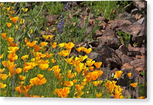 Wild Flower Acrylic Print featuring the photograph Wild Flower And Rocks by Stephen Dilley