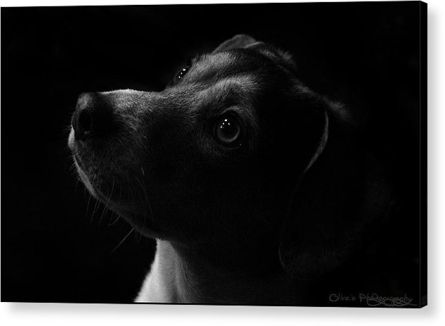 Low Key Shot Alivia Houdek Admiration Photograph Photo Image Picture Black Dark Art Rotty Dog Pet Domestic Puppy Eyes Black And White Night Photography Olive Olives Studio For Sale Acrylic Print featuring the photograph Admiration by Alivia Houdek