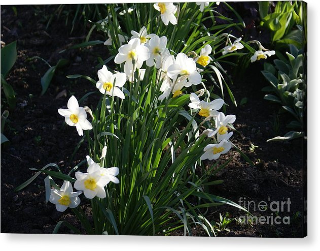 Daffodils Acrylic Print featuring the photograph Daffodils Of Suzdal by Padamvir Singh