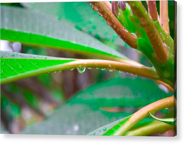 Landscape Picture Of Various Green Leaves On Overcast Day And Drops Of Rain Acrylic Print featuring the photograph Drop by Joris Shaw