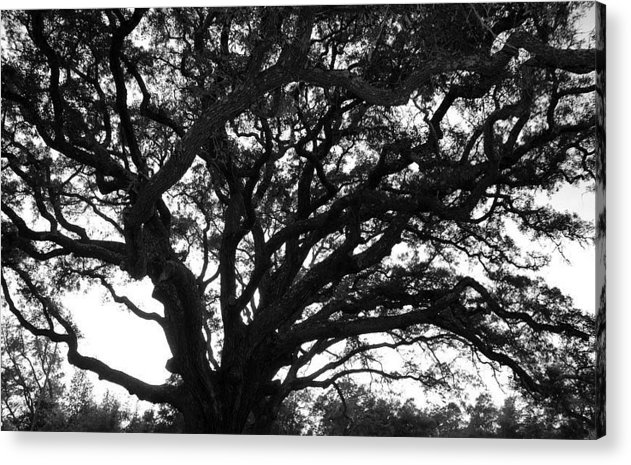 Acrylic Print featuring the photograph Florida Tree by Christy Phillips