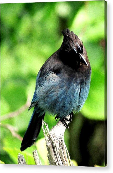 Birds Acrylic Print featuring the photograph Fox Island Stellar's Jay by Linda Dawn Carson