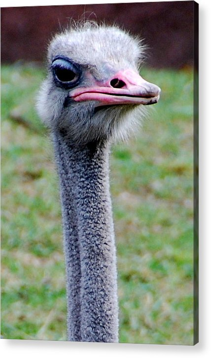 Acrylic Print featuring the photograph I'm Not Amused by Christy Phillips