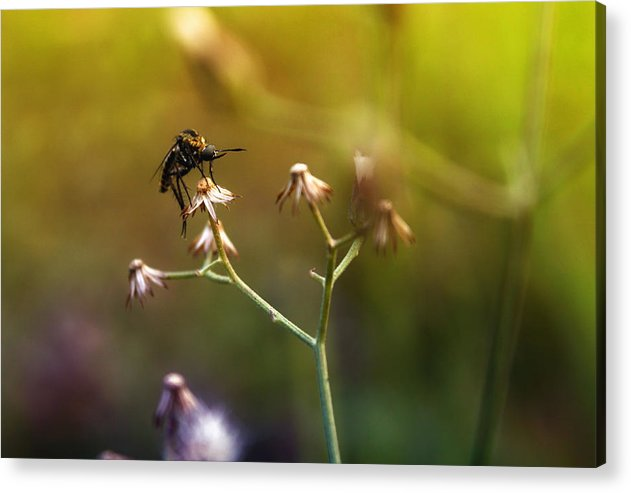 Mosquito Acrylic Print featuring the photograph Mosquito Tiger Beefly by Yustus Waskito Budi P