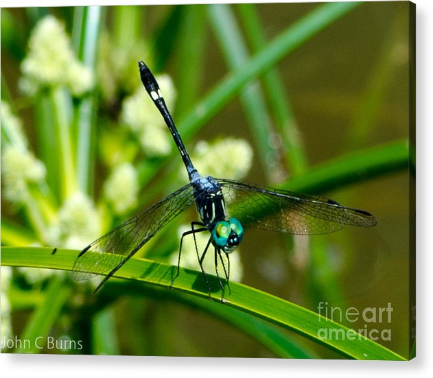 Animals Acrylic Print featuring the photograph Saphire by John Burns