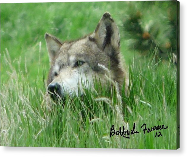 Wolf Acrylic Print featuring the photograph Wolf Laying In Grass by Bobbylee Farrier