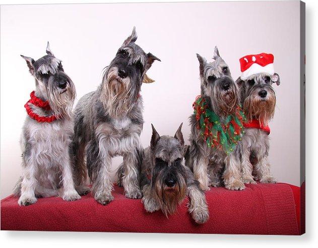 Schnauzers Acrylic Print featuring the photograph 5 Christmas Schnauzers by Bill Schmitt