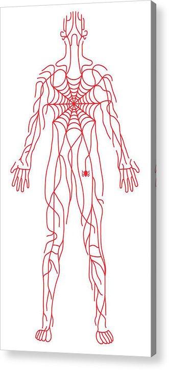 Anatomy Of Human Body And Spider Web Acrylic Print By Timothy Goodman